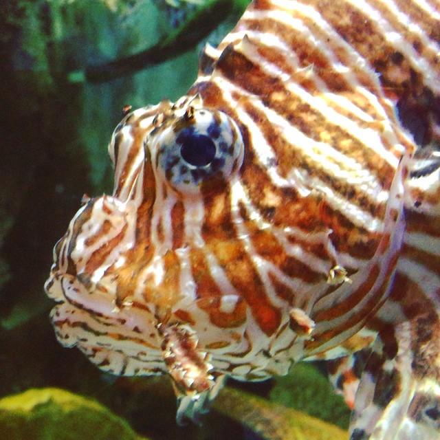 New friendship made in the #Arabic sea. #uae #dubai #lionfish